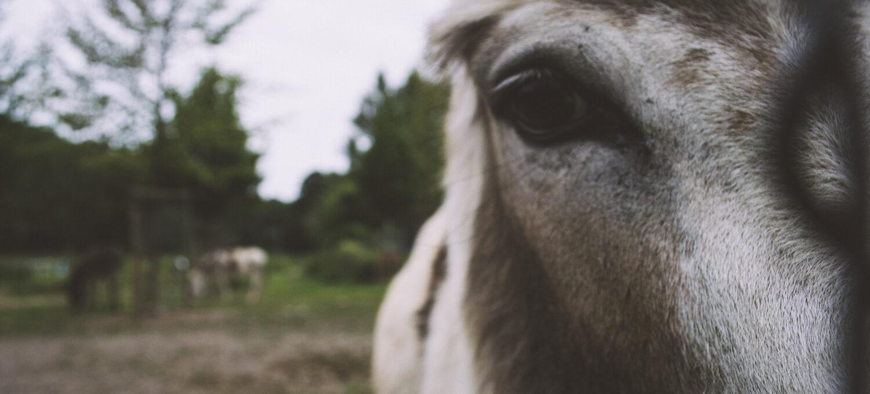 Nahaufnahme eines Esels von vorne mit Fokus auf dessen rechtes Auge