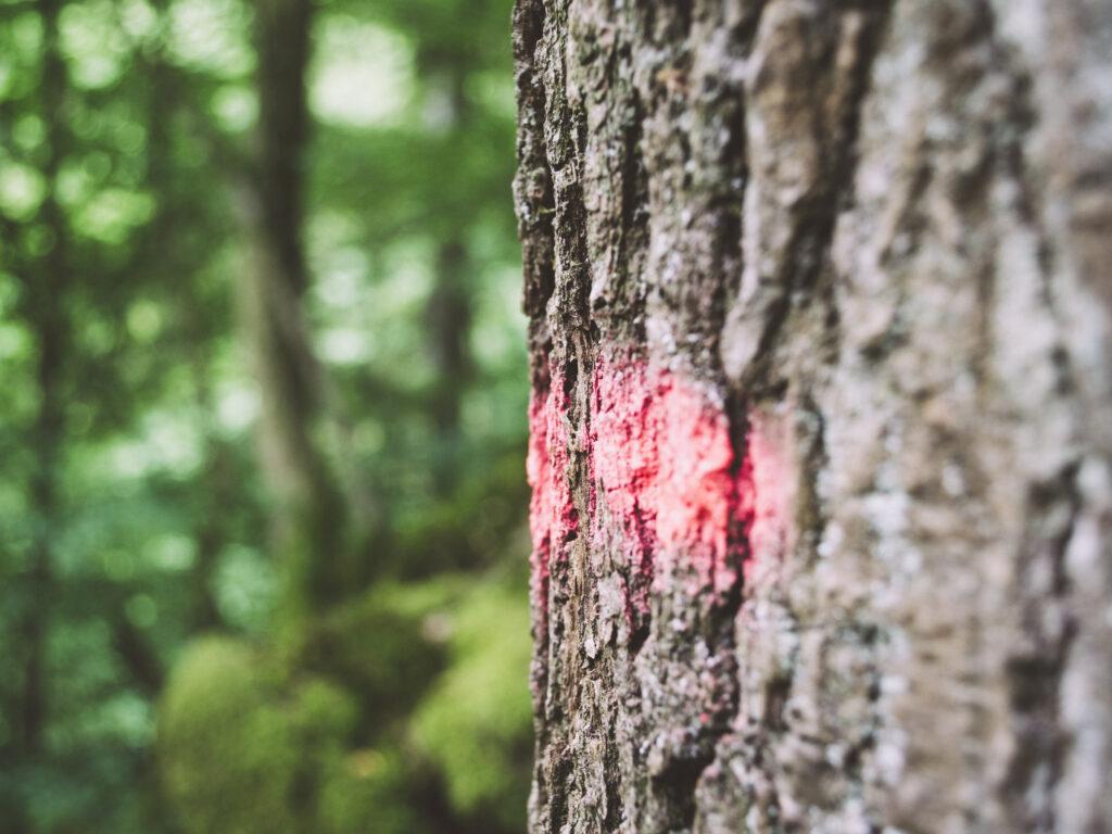 Ein Baum im Wald. Im Vordergrund ist die mit roter Sprühkreide markierte Rinde eines Baumes fokussiert, während im Hintergrund der grüne Wald verschwimmt.